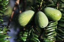 香榧老产区(西白山白雁坑村)的采摘季节马上就要到了,三代同堂的千百年坚果树,体现一方百姓的艰苦生存历