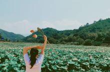 清晨,粗花,五夫,万亩荷塘采莲,摘蓬,打卡,剥粒莲子