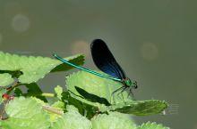 平山青风峡景区,生态环境非常好,蝴蝶蜻蜓出没,就在游人眼皮底下停驻。这里是它们的家园,而我们是闯入者