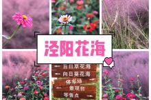 陕西咸阳泾阳县|泾阳花海  近两年,突然不知从哪里飘来一片紫色的旋风,风靡友圈。 这就是被称为网红草