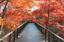 蒲石河森林公园进入最佳观赏期,这秋色简直美不胜收!十八里红枫路是全省仅此一家的,适合全家老小游玩,没