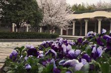 武汉.王家墩公园.樱花