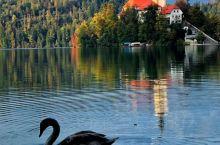 美丽的意大利黑天鹅