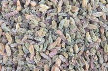 新疆的葡萄干熟了