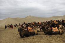 五头骆驼一队 以队为单位 一队 两队 三队 骆驼铃声叮叮当当游荡在沙漠中