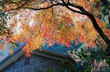 #莫干山风景区##住在老别墅里# 半个月的大晴,突然的降温,终于让老枫树一夜爆红。说好的周末下午,突
