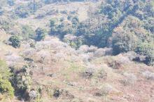 惠东梁化梅园是一月份的打卡网红点,每年元旦前后的20天刚好是青梅花开的季节,走进梁化梅园 ,首先是大