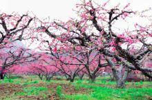 """中国是桃树的故乡。公元前十世纪左右,《诗经·魏风》中就有""""园有桃,其实之淆""""的句子。其他古籍如《管子"""