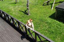 拉卜湾长鼻猴养育中心。长鼻猴真是可爱的 【景点攻略】 详细地址:  交通攻略:打车  开放时间: