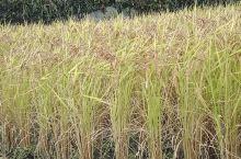 任何人都知道日本的大米好吃,那日本的稻谷长的什么样子呢?请看照片!