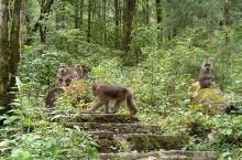 在海螺沟的林中跳跃着不少淘气的猴子。这种猴子的体型较大,身材圆润,且头大,所以看上去胖乎乎,萌萌的。