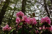 亚丁景区满山的野生杜鹃花,很是漂亮壮观。