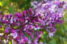 乌兰布统的野花