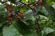 全州·桂林  井垌岭 是这十多年没吃过的野生樱桃了!纯天然无污染!看着就回味无穷!!!你们有认识吗?
