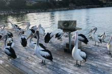 【澳大利亚南澳袋鼠岛】钓鱼还有好多pelican,惬意的生活