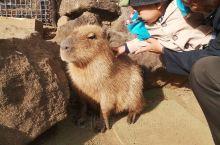 伊豆大室山因为风大缆车停运了,仙人掌动物园很推荐,我儿作为一岁的宝宝,胆子真的很大