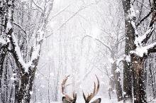 """魁北克旅行——在雪地蹦跶的小精灵,在魁北克这座""""冰城""""走出城外,就能偶尔看到那些喜欢在雪地蹦跶的小动"""
