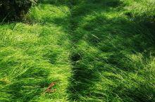嵊州有座野山,因为种香榧,所以称谓香榧山,香榧树下的草,怎么看怎么美。
