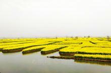 """千垛景区位于江苏㤗州兴化,是中国最美的垛田型油菜花海,""""河有万湾多碧水,田无一垛不黄花""""就是这里美景"""