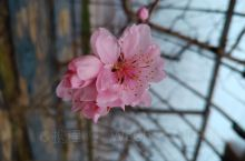 大过年的来砀山县果园场里感受一下,即将盛开的桃花。