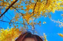 等闲日月任西东,不管霜风著鬓蓬。 满地翻黄银杏叶,忽惊天地告成功。  北京的秋天,短暂却美丽~ 下面