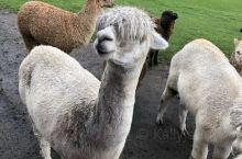 在爱歌顿农场随时可以下车去亲手喂动物,和动物亲密接触