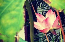 福建武夷山市五夫乡是个人杰地灵风景如画的美丽乡村,这里有全国最好的通心白莲,还有可口的莲藕,还有万亩