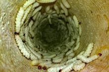 在云南,没有一只竹虫能够安全长大! 来云南,你要敢吃虫!竹虫是最基本的,大蜂蛹、爬沙虫、水蜻蜓、酸蚂