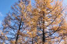 阿尔山的秋天,美丽动人,阿尔山市出来前往国际森林的路上,一片林子拐进去,成就了此行最美的风景,赶上了