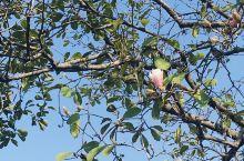 今年秋天气候稍许有些热,白玉兰,樱花和丹桂一起绽放,美。