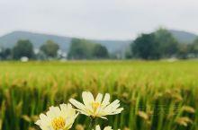 美丽的金秋乡村路边的野花和金色麦田相映在一起是多么的美丽宁静