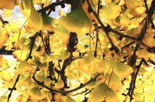 随州千年银杏古镇 随州洛阳镇的银杏谷,秋天到来的时候,色彩就丰富起来,几千颗银杏树叶微黄将黄,浅黄深