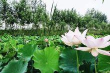万亩荷塘风景区,位于山东省曹县魏湾镇,依托太行堤第二、三水库。库区面积5.4万亩,引黄干线横穿库区,