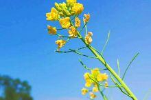黄萼裳裳绿叶稠,千村欣卜榨新油。 爱他生计资民用,不是闲花野草流。 你知道这是哪位皇帝写的吗?