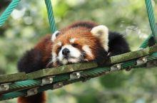旭山动物园  北海道除了优美的环境、富饶的物产,当然不得不提的还有可爱的动物们啦。可爱动物去哪看?旭