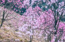四川辛夷花海推荐 初春,适合来一场远离城市的春游。今日推荐四川九皇山。这个时候,漫山遍野的辛夷花,恍