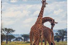 坦桑尼亚|塞伦盖蒂上的迁徙规律 这一篇,我们来整理一下东非大迁徙在坦桑尼亚上进行的季节性规律,来帮助