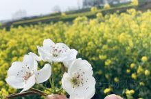 三月梨花雨, 芬芳遍野时 海棠依旧笑, 桃李赋新诗