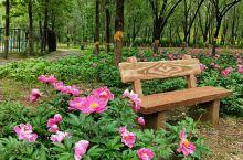 """""""我家后花园""""的芍药开了~~ 光影下,一个人的世界,好自在哦⊙∀⊙!    地点:东小口森林公园二期"""