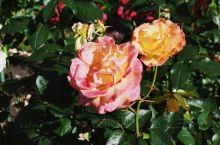 【新西兰南岛 | 基督城植物园里的玫瑰】  在新西兰南岛基督城,不可错过的是这里的植物园。除了大名鼎