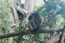 到澳洲看动物真的很惊喜。黄金海岸的主题乐园梦幻世界里面的动物已经很可观,可以加钱抱抱考拉拍照,到澳洲