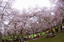 奥克兰 一树山 樱花开了,原图没滤镜,在奥克兰的小伙伴快去赏花吧