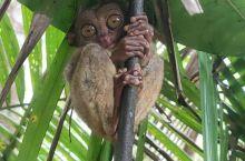 近距离的看一下菲律宾国宝眼镜猴,风吹雨打都不怕,就等你们来看我,很少有眼镜猴视频上传,一般都是图片,