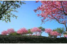 永福樱花园位于福建漳平市永福镇后盂村的茶园和李庄村的台缘山庄。这个景点很适合自驾,而且离漳平市区也不