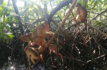 长鼻猴保护区是来沙巴一定要去探寻的地方,因为他十分的稀有,所以也不是每次都能发现。即使看到他可能也是