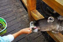 买一筐苔藓喂驯鹿,有点意思,孩子们都喜欢。