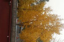 秋日的银杏树,后两张是石家庄植物园,第一张是正定天宁寺