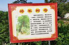 将军树奇在兴宁径南镇双梧村,已经有800多年的树龄