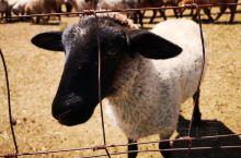 小羊肖恩,萌萌哒~(๑• . •๑)