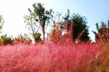 北京也可以看到如梦如幻,如云似雾的粉色花海了。几多粉黛花无色。的确,在这些粉粉的,蓬蓬的,萌萌的粉黛